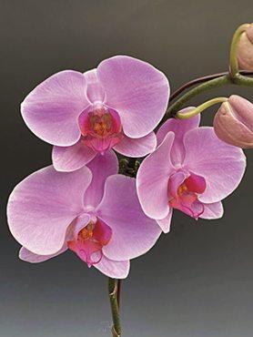 Фаленопсис гибридный Empress (1 шт)