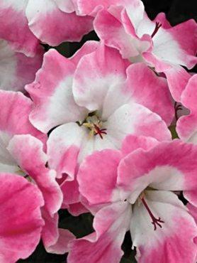 Пеларгонія королівська Bermuda Pink (1 шт)