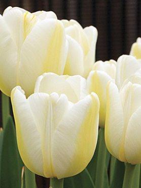 Тюльпаны Простые поздние Angels Wish 1112 (20 шт)