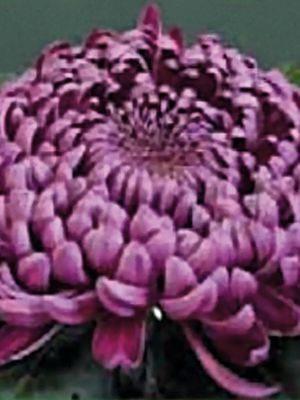 Хризантема срезочная Gilbert Leigh Purple (3 шт) - 1