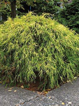 Кипарисовик горохоплодный Golden Mop (1 шт)