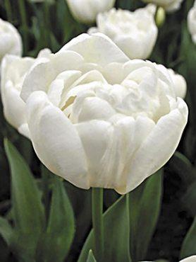 Тюльпаны Махровые ранние Mondial 12+ (20 шт)