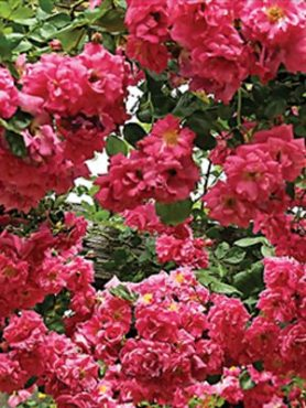Роза в'юнка Chaplin's Pink (1 шт)