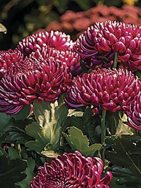 Хризантема срезочная Bigoudi Purple (9 шт)