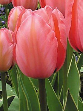 Тюльпани Дарвиновы гібриді. Design Impression 1112 (3 шт)