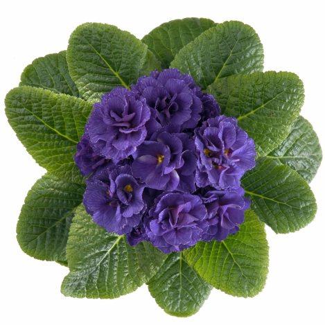 Первоцвіт звичайний Petticoat Blue F1 - 1