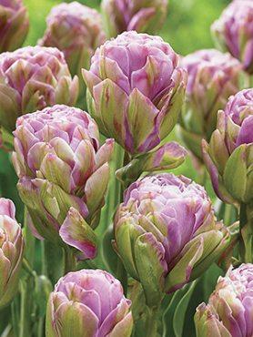 Тюльпаны Махровые поздние Violet Pranna 11/12 (3 шт)