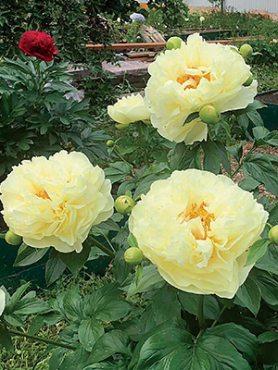 Півонія молочноквіткова Lemon Chiffon (1 шт)