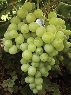 Виноград Антоний Великий (1 шт)