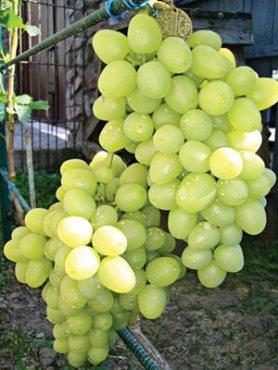 Виноград Аркадия(1 шт)