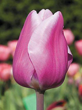 Тюльпаны Простые ранние Aafke 1112 (3 шт)
