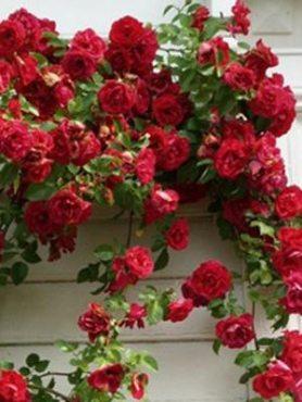Роза в'юнка Flammentanz (1 шт)