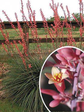 Геспералоэ мелкоцветковое (3 шт)