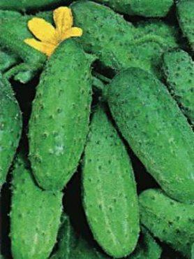 Огірок Кущової (100 шт)