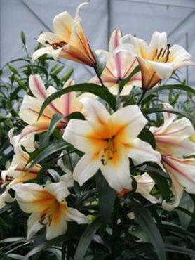 ОТ-гибриды Garden Affaire 1214 (1 шт)