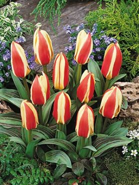 Тюльпани Грейга Authority 1011 (3 шт)