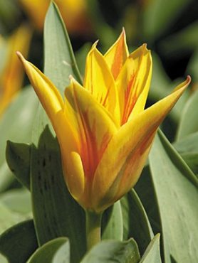Тюльпаны Грейга Winnipeg 1112 (100 шт)