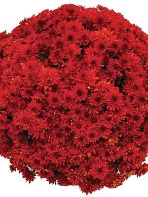 Хризантема мелкоцветковая низкорослая Branstorm (9 шт) - 1