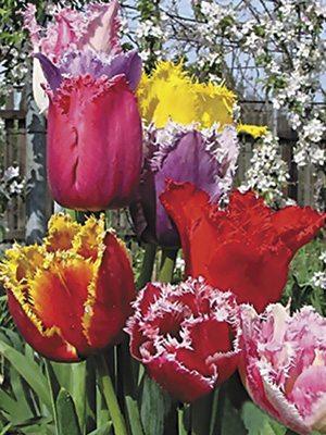 Тюльпаны Бахромчатые, смесь 1012 (10 шт) - 1