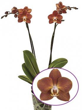Фаленопсис гибридный Horizon (осень) (1 шт)