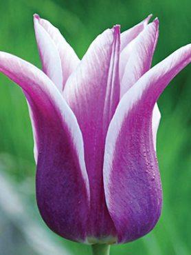 Тюльпани Лілієцвітні Ballade 1112 (3 шт)