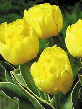 Тюльпаны Кауфмана Calimero 9-10 (3 шт)