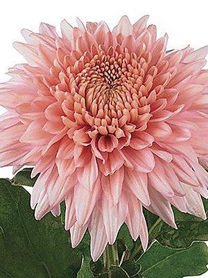 Хризантема срезочная Marielle Pink (9 шт) - 1