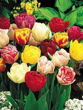 Тюльпаны Махровые поздние, смесь 1012 (50 шт)