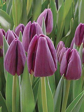 Тюльпани Тріумф Bullit 1112 (3 шт)