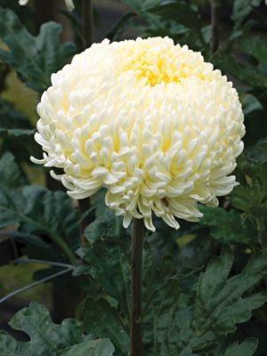 Хризантема срезочная Creamist White (3 шт) - 1