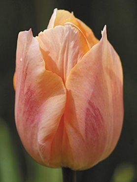 Тюльпаны Простые ранние Apricot Beauty 1011 (3 шт)