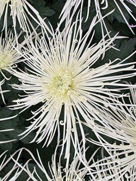Хризантема срезочная Maxim Ivory (3 шт)