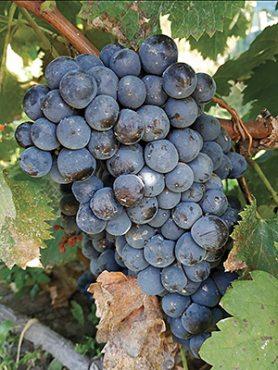 Виноград Мерло(1 шт)
