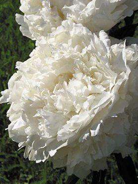 Пион молочноцветковый Айсберг (1 шт)