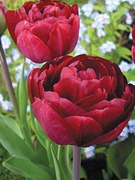 Тюльпаны Махровые поздние Uncle Tom 10/11 (100 шт)