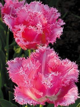 Тюльпаны Бахромчатые Fancy Frills 1112 (3 шт)