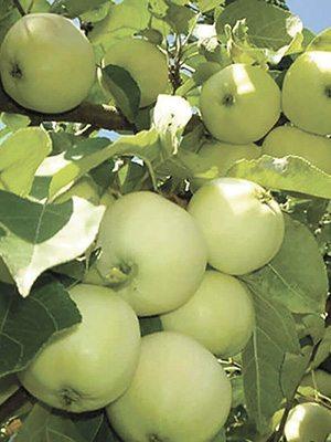Яблоня Паперовка (1 шт) - 1