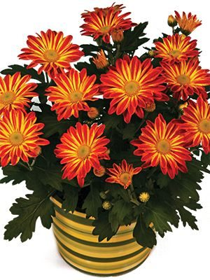 Хризантема горшечная Robinho Red (3 шт) - 1