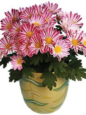 Хризантема горшечная Robinho (3 шт) - 1