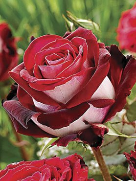 Роза чайно-гибридная Osiria(1 шт)