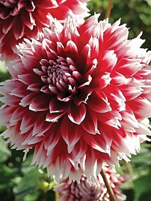 Георгина декоративная бахромчатая Red and White Fubuki (1 шт) - 1