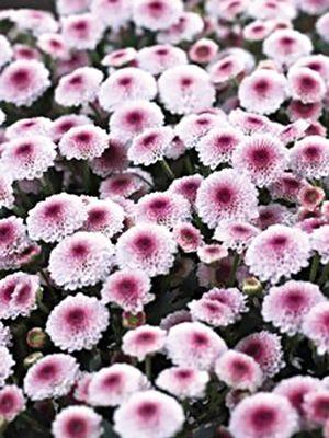 Хризантема срезочная Calimero Pink (3 шт) - 1