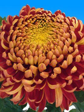 Хризантема срезочная Hanenburg Red (3 шт)