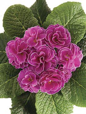 Примула обыкновенная Petticoat Lilac F1 (3 шт)
