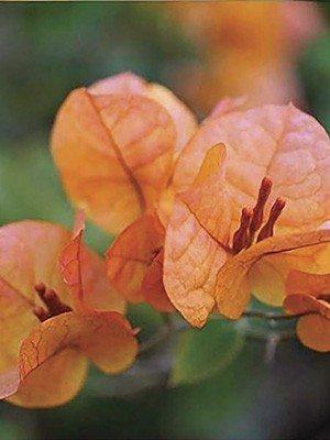 Бугенвіллея Vera Orange (1 шт) осінь - 1