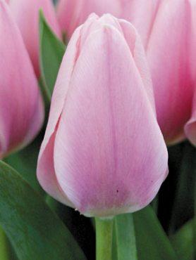 Тюльпани Тріумф Algarve 1112 (3 шт)