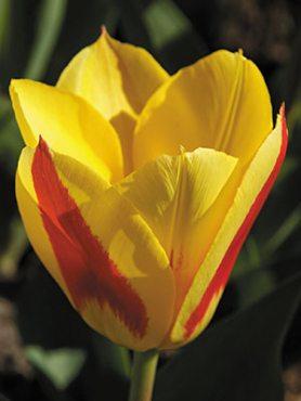 Тюльпаны Кауфмана Stresa 1011 (3 шт)