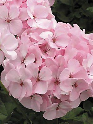 Пеларгония зональная Pink (6 шт) - 1