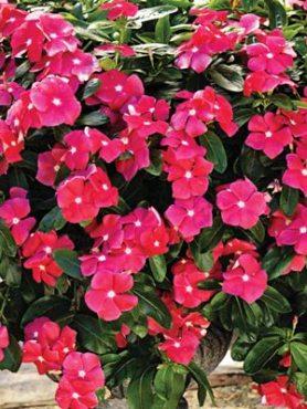 Катарантус гібридний ампельний Cora Cascade Cherry, вишневий (6 шт)