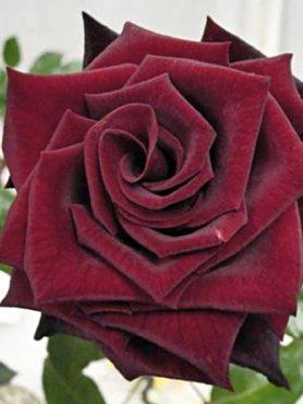 Роза чайно-гибридная Black Magic(1 шт)